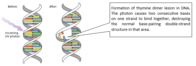 Formation of thymine dimer lesion in DNA